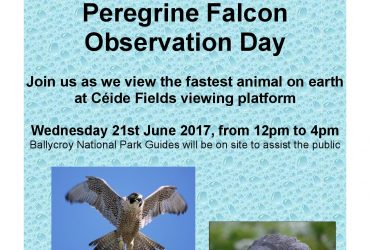 Ceide Fields Peregrine Falcon Viewing 21 June 2017 Peregrine Falcon Viewing at Céide Pair of Peregrine Falcons Young Peregrine Falcons Ceide Cliffs Natural Environment at Ceide Natural Environment in North Mayo Ceide Fields Visitor Centre Wildlife Rangers Ballycroy Visitor Centre