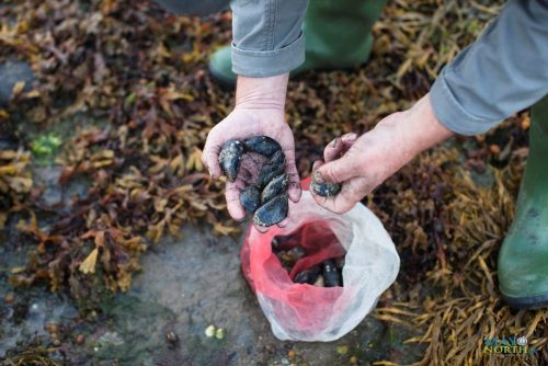 Seafood foraging in Killala with Wild Atlantic Cultural Tours Foraging tours in North Mayo